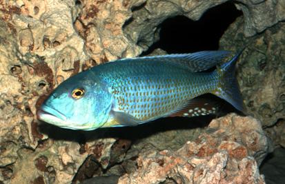 Buccochromis lepturus - Lepturus