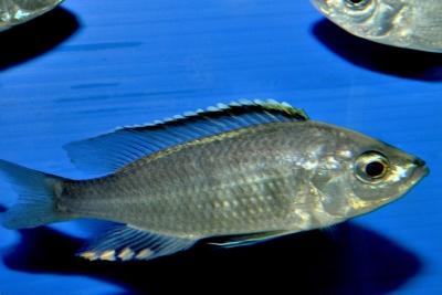 Mloto Cichlidae