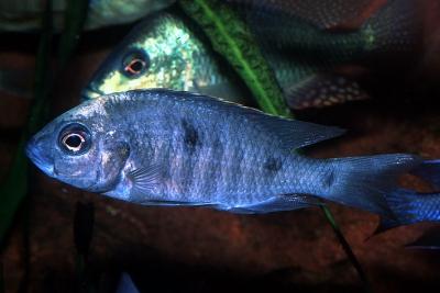 Mloto Ivory Cichlidae