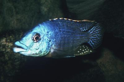 haplo lippu Cichlidae