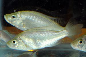 Caprichromis orthognathus
