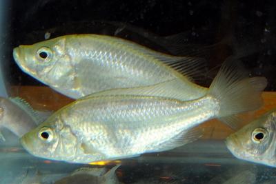 Caprichromis orthognathus Cichlidae