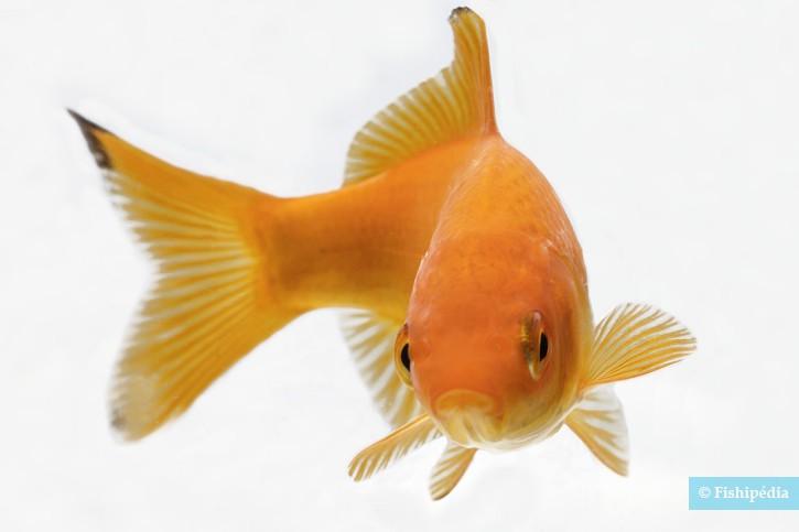 Carassius auratus - poisson rouge