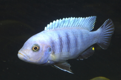 pulpican Cichlidae