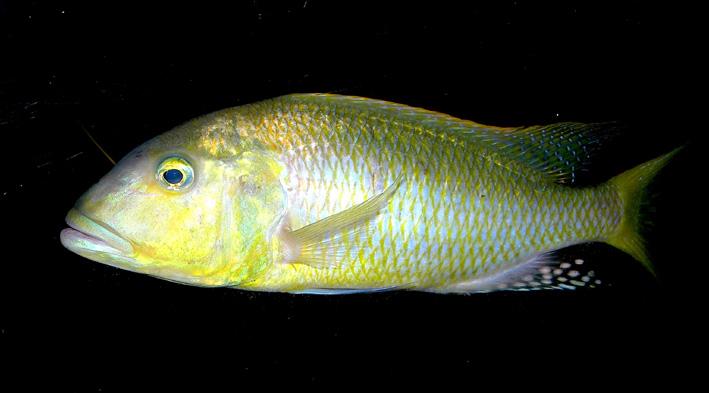 Buccochromis rhoadesii