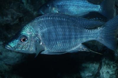 Aulonocara rostratum Cichlidae