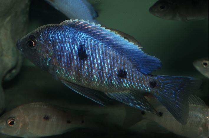 Copadichromis sp. Blue Metangula