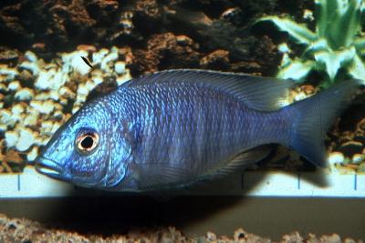 Placidochromis sp. Chilumba Blue Cichlidae