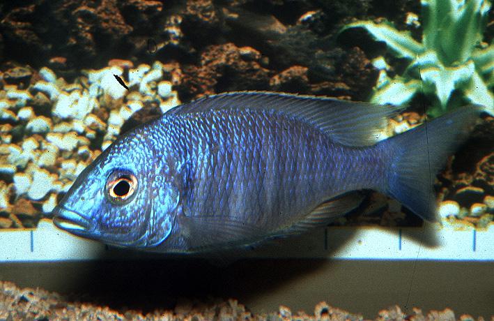Placidochromis sp. Chilumba Blue