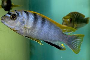 Labidochromis sp Hongi