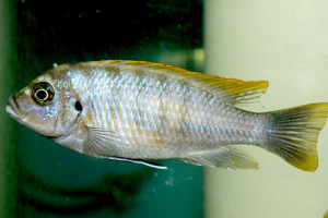 Cynotilapia sp Mbamba Luwino Reef