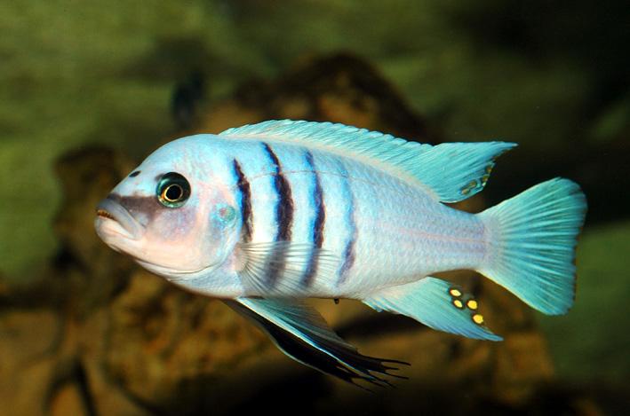"Cynotilapia sp. ""hara"" Gallireya Reef"