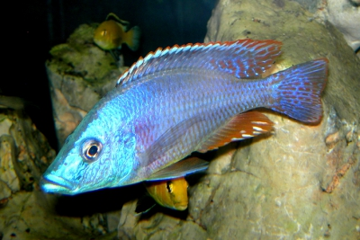 Haplo Sunset Cichlidae