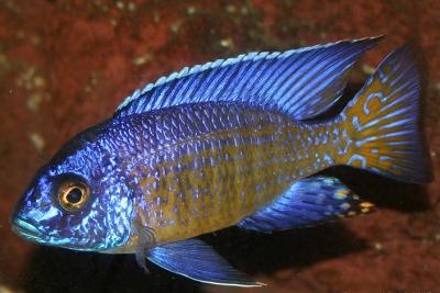 Aulonocara stuartgranti Cichlidae