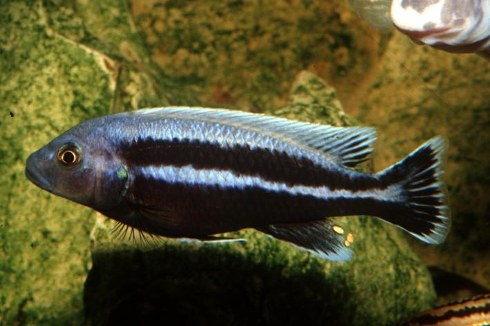 Melanochromis vermivorus