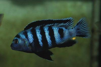Saulosi Cichlidae