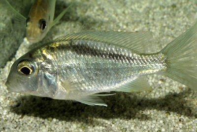 Tramitichromis brevis Nkata Cichlidae