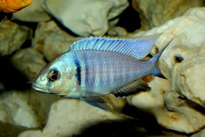 Placidochromis electra Cichlidae
