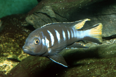 Chindongo elongatus Chewere Cichlidae