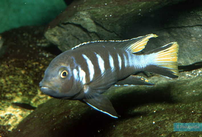 Chindongo elongatus Chewere