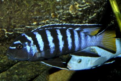 Chindongo elongatus Mpanga Cichlidae