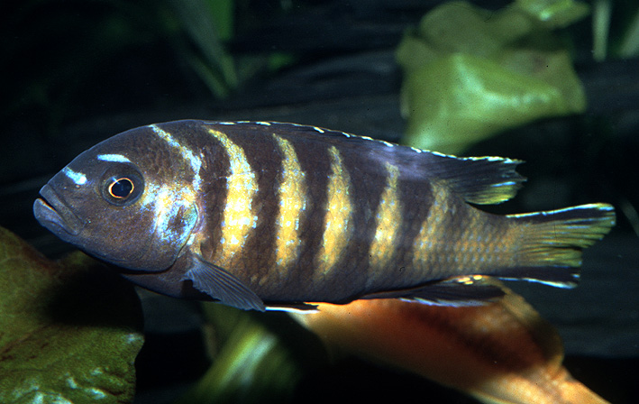 Pseudotropheus sp elongatus