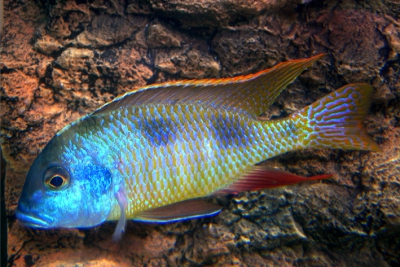 Tramitichromis intermedius Cichlidae