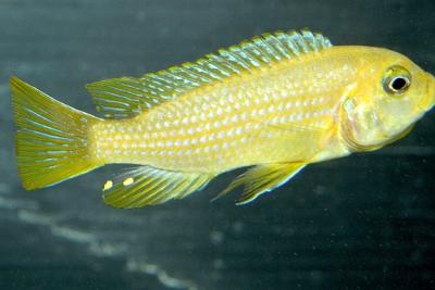 Solid Orange Cichlidae