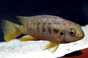 Tropheops macrophthalmus Kirondo