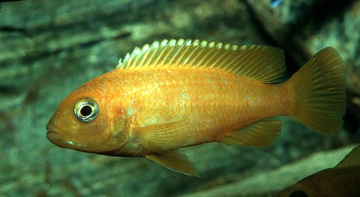Chindongo saulosi Taiwanee Reef - Saulosi