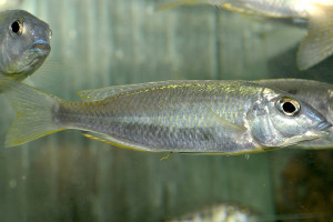 Mylochromis sp Torpedo Blue Tanzanie