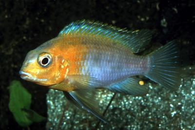 Tropheops sp. Red Cheek Cichlidae