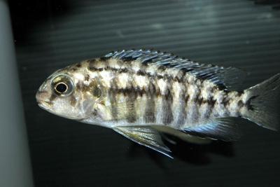 Tropheops sp. Tiger Olive Cichlidae