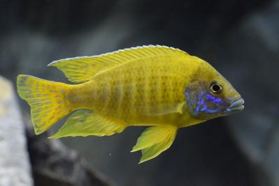 baenchi Cichlidae