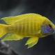 picture of Aulonocara baenschi