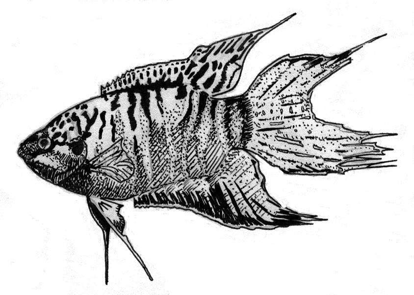 Macropodus opercularis