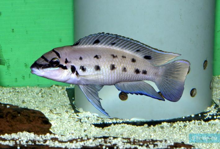 Chalinochromis sp. Ndobhoi Karilani