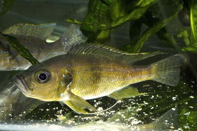 Greenwoodochromis bellcrossi Cichlidae