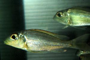 "Callochromis macrops ""Mtosi"""