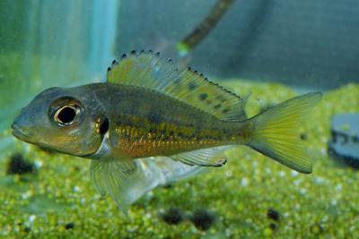 Callochromis melanostigma Cichlidae