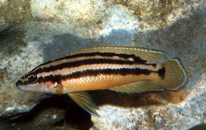 Julidochromis ornatus