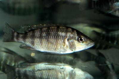 Gnathochromis pfefferi Cichlidae