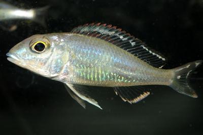 Callochromis pleurospilus Cichlidae