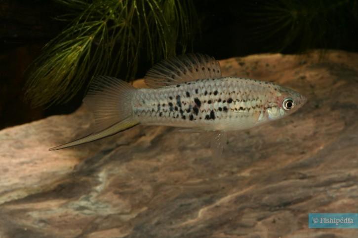 Xiphophorus nezahualcoyotl