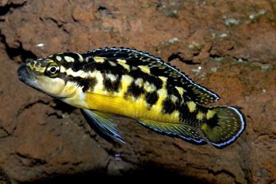 Julido masqué Cichlidae