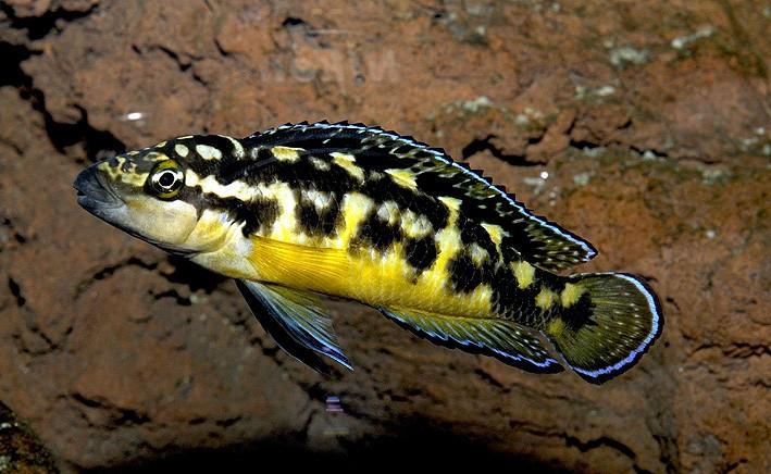 Julidochromis transcriptus Uvira m