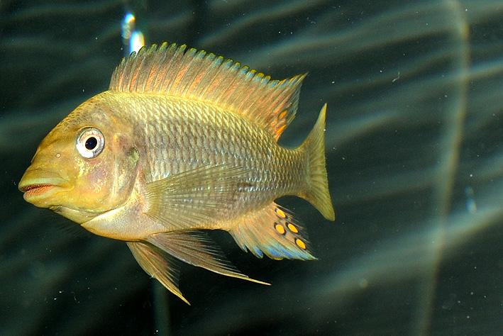 Petrochromis paucispinis