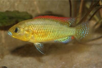 Pseudocrenilabrus victoriae