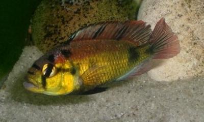 Haplochromis aenocolor Cichlidae
