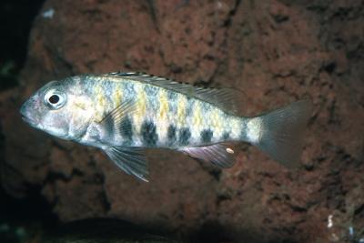 Babaulti Cichlidae